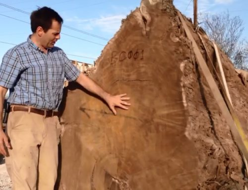 Throwback Thursday: Ancient buried cypress unearthed