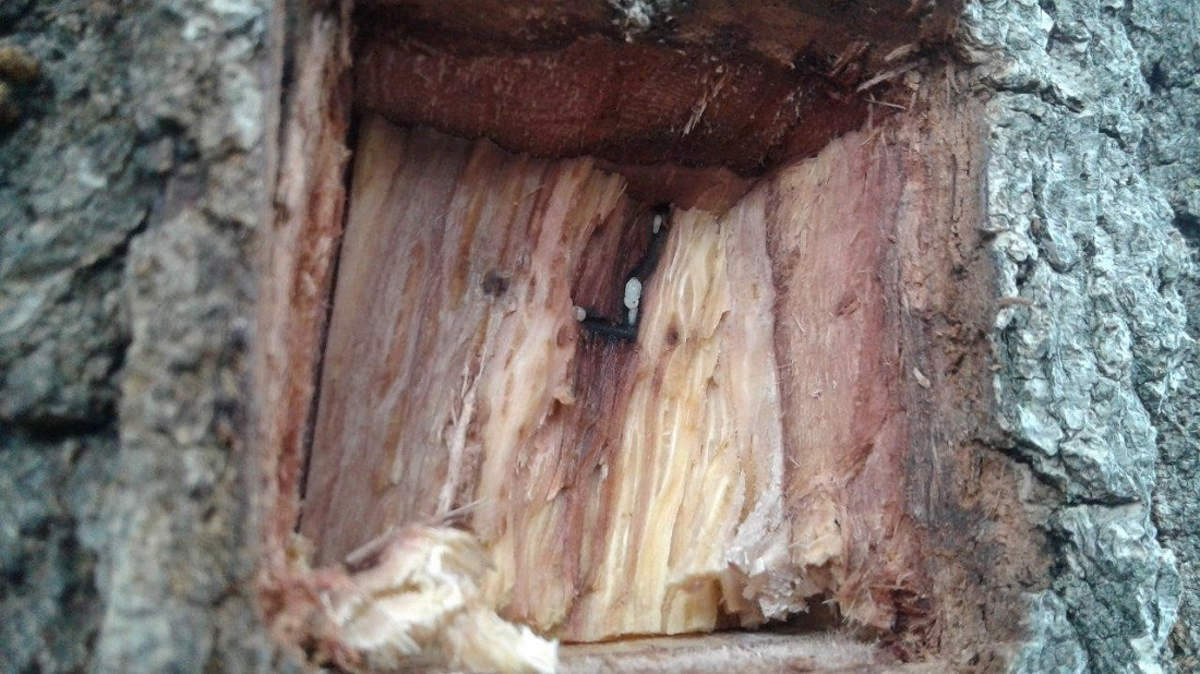 Beetle threat to trees on the rise