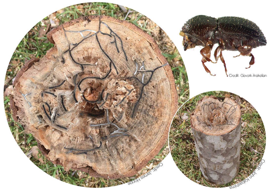 A Polyphagous Shot Hole Borer beetle can cause extensive damage to trees. Image credit: UCI Sustainability